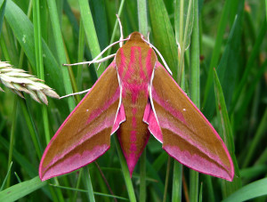 3527.Elephant Hawk Moth2